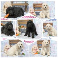Goldendoodle Puppies for sale in Clare, MI 48617, USA. price: NA