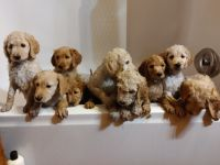 Goldendoodle Puppies for sale in Sparta, TN 38583, USA. price: NA