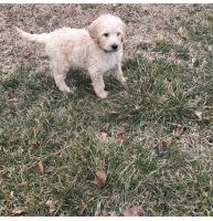 Goldendoodle Puppies for sale in Springfield, IL, USA. price: NA