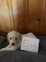 Goldendoodle Puppies for sale in Allen Rd, Allen Park, MI, USA. price: NA