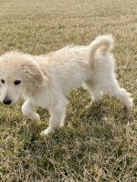 Goldendoodle Puppies for sale in Lexington, KY, USA. price: NA