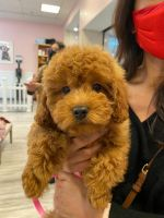 Goldendoodle Puppies for sale in Chicago, IL 60601, USA. price: NA