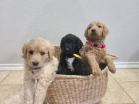 Goldendoodle Puppies for sale in Denton, TX, USA. price: NA
