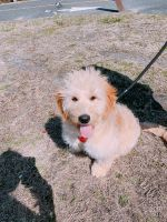 Goldendoodle Puppies for sale in Egg Harbor Township, NJ 08234, USA. price: NA