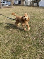 Goldendoodle Puppies for sale in Patchogue, NY 11772, USA. price: NA
