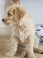 Goldendoodle Puppies for sale in St. Augustine, FL, USA. price: NA