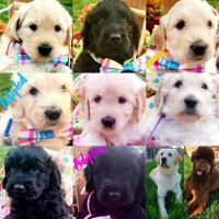 Goldendoodle Puppies for sale in Sacramento, CA 95823, USA. price: NA