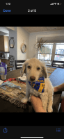 Goldendoodle Puppies for sale in Arnold, MO, USA. price: NA