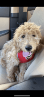 Goldendoodle Puppies for sale in Johnson City, TN, USA. price: NA