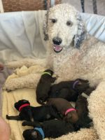 Goldendoodle Puppies for sale in St. George, UT, USA. price: NA