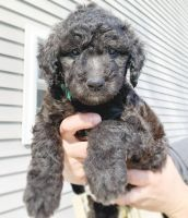 Goldendoodle Puppies for sale in Davison, MI 48423, USA. price: NA