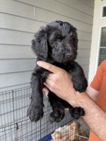 Goldendoodle Puppies for sale in Glendale, CA 91202, USA. price: NA