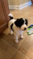 Goldendoodle Puppies for sale in Jefferson, GA 30549, USA. price: NA
