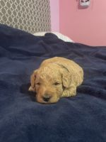 Goldendoodle Puppies for sale in Wilson, NC, USA. price: NA