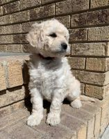 Goldendoodle Puppies for sale in Moorhead, MN 56560, USA. price: NA