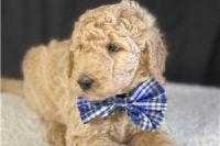 Goldendoodle Puppies for sale in Oertli Ln, Austin, TX 78753, USA. price: NA