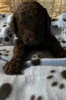 Goldendoodle Puppies for sale in Minneapolis, MN 55433, USA. price: NA