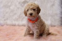 Goldendoodle Puppies for sale in Navarre, OH 44662, USA. price: NA