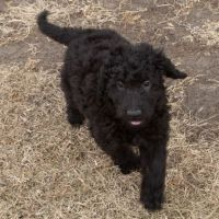 Goldendoodle Puppies for sale in Covington, GA, USA. price: NA