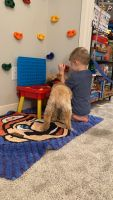 Goldendoodle Puppies for sale in Newport, KY 41071, USA. price: NA