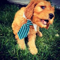 Goldendoodle Puppies for sale in Meridian, ID, USA. price: NA