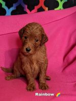 Goldendoodle Puppies for sale in Troy, MI, USA. price: NA