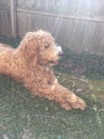 Goldendoodle Puppies for sale in Lawrence, KS, USA. price: NA