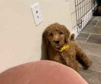 Goldendoodle Puppies for sale in Jersey City, NJ, USA. price: NA