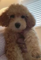 Goldendoodle Puppies for sale in Delray Beach, FL, USA. price: NA