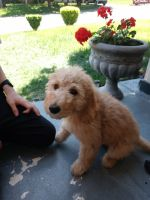 Goldendoodle Puppies for sale in Berryville, VA 22611, USA. price: NA