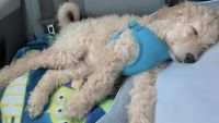 Goldendoodle Puppies for sale in Miamisburg, OH, USA. price: NA