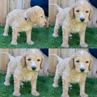 Goldendoodle Puppies for sale in 3130 Bonita Rd, Chula Vista, CA 91910, USA. price: NA