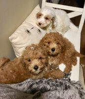 Goldendoodle Puppies for sale in Phillips, WI 54555, USA. price: NA
