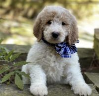 Goldendoodle Puppies for sale in Broken Arrow, OK 74012, USA. price: NA