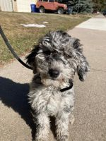Goldendoodle Puppies for sale in Loveland, CO, USA. price: NA