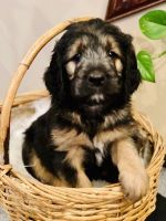 Goldendoodle Puppies for sale in Kansas City, KS, USA. price: NA