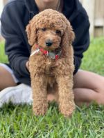 Goldendoodle Puppies for sale in Fort Lauderdale, FL, USA. price: NA