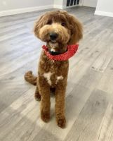 Goldendoodle Puppies for sale in Cutler Bay, FL, USA. price: NA