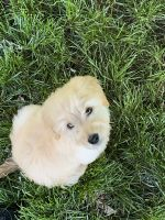 Goldendoodle Puppies for sale in Fuquay-Varina, NC, USA. price: NA