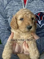 Goldendoodle Puppies for sale in West Jordan, UT 84084, USA. price: NA