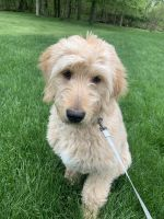 Goldendoodle Puppies for sale in Moon Twp, PA, USA. price: NA