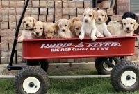 Goldendoodle Puppies for sale in Edmond, OK, USA. price: NA