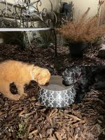 Goldendoodle Puppies for sale in View Park-Windsor Hills, CA, USA. price: NA