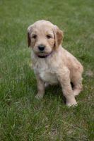 Goldendoodle Puppies for sale in Flint Twp, MI, USA. price: NA