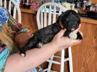 Goldendoodle Puppies for sale in Gibsonburg, OH 43431, USA. price: NA