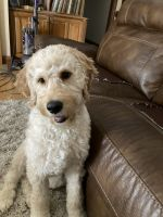 Goldendoodle Puppies for sale in Evansville, IN, USA. price: NA