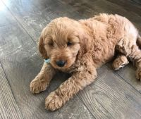 Goldendoodle Puppies for sale in Irvington, NJ 07111, USA. price: NA