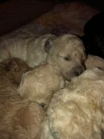 Goldendoodle Puppies for sale in Sandy, OR 97055, USA. price: NA