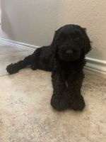 Goldendoodle Puppies for sale in Conroe, TX 77304, USA. price: NA
