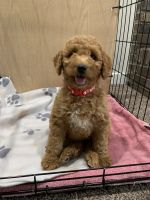 Goldendoodle Puppies for sale in Clinton Twp, MI 48038, USA. price: NA